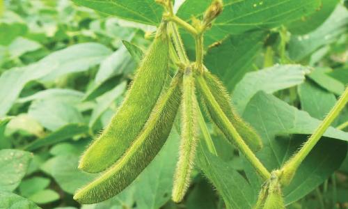 legumicultura-zemelo
