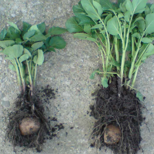 radacina-de-cartof